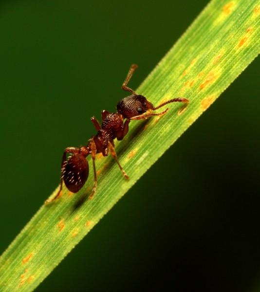ant-leaf